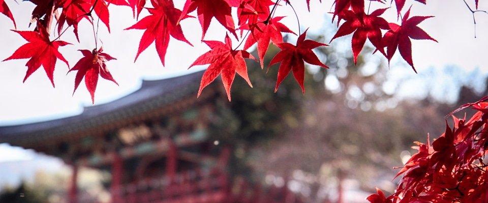 Klimaat Zuid Korea, rode bladeren esdoorn herfst gyeongsangbukdo